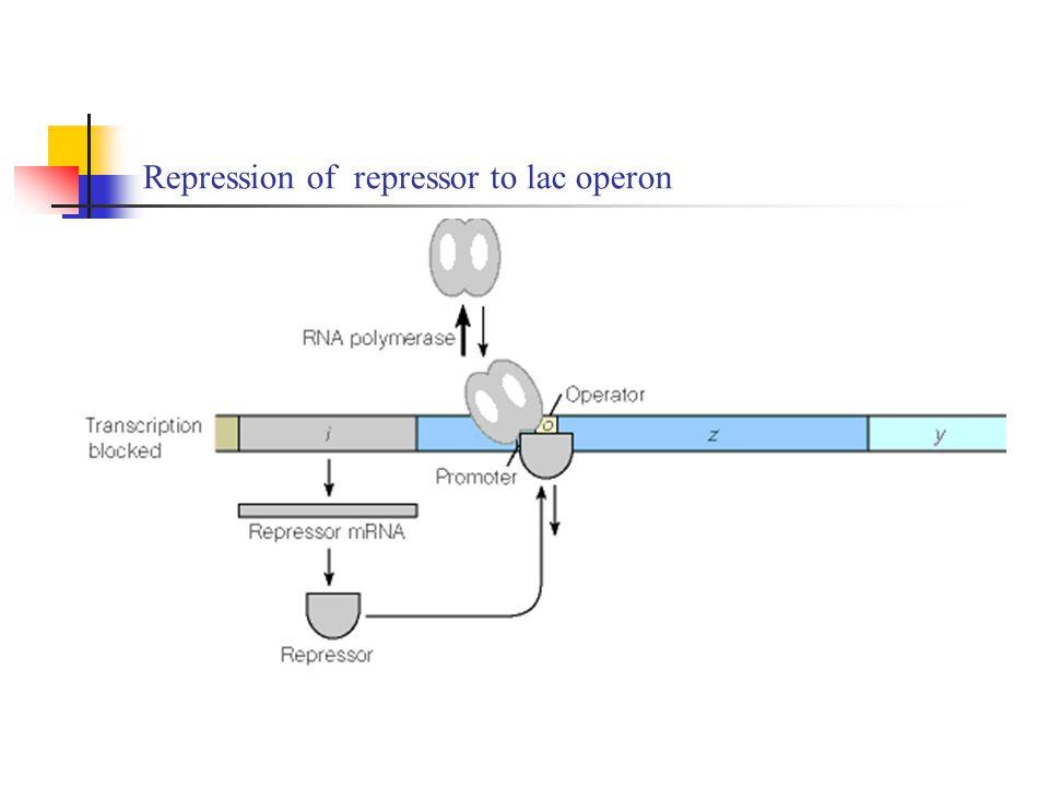 Repression of repressor to lac operon