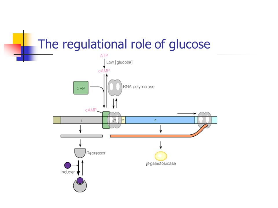 The regulational role of glucose