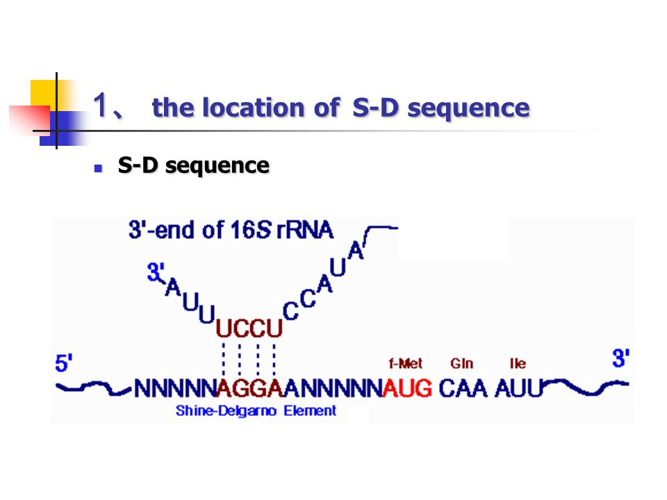 1、 the location of S-D sequence