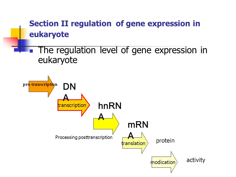 Section II regulation of gene expression in eukaryote