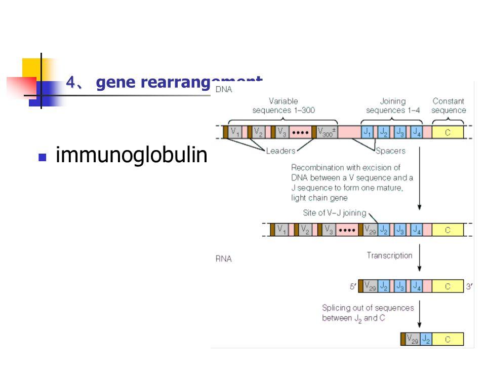 4、 gene rearrangement immunoglobulin