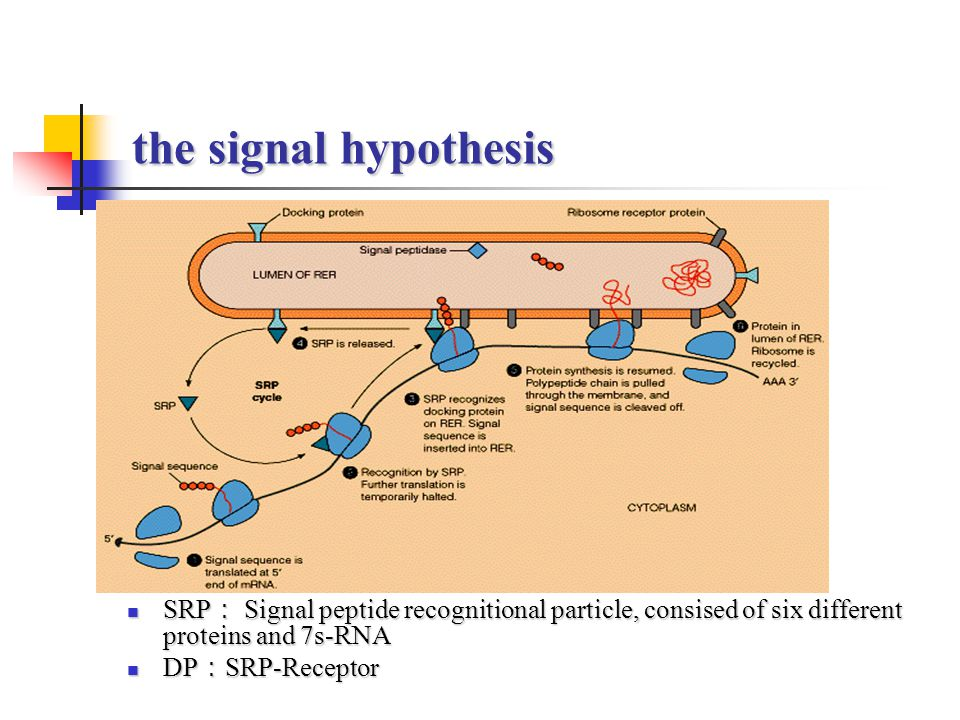 the signal hypothesis SRP: Signal peptide recognitional particle, consised of six different proteins and 7s-RNA.