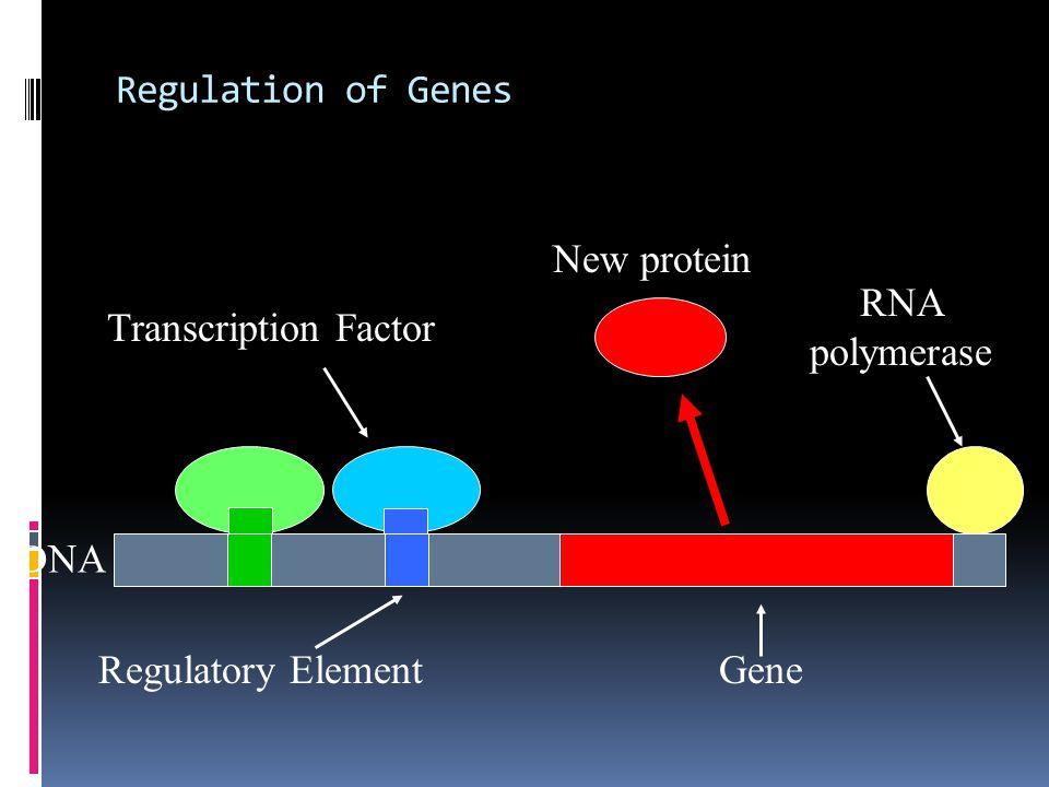 Regulation of Genes New protein RNA polymerase Transcription Factor DNA Regulatory Element Gene