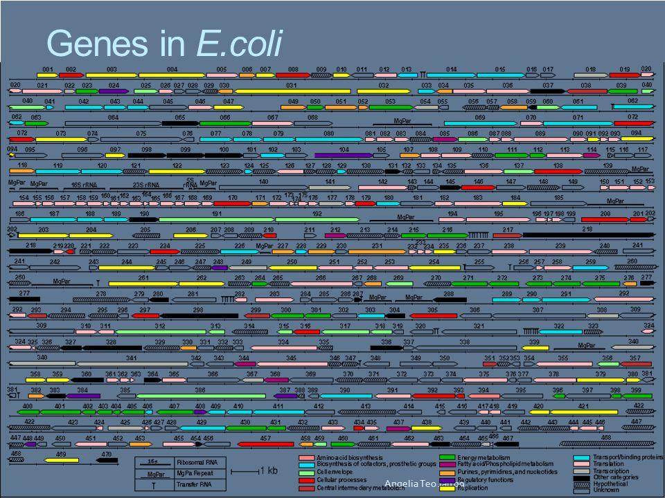 Genes in E.coli Angelia Teo Jan 09