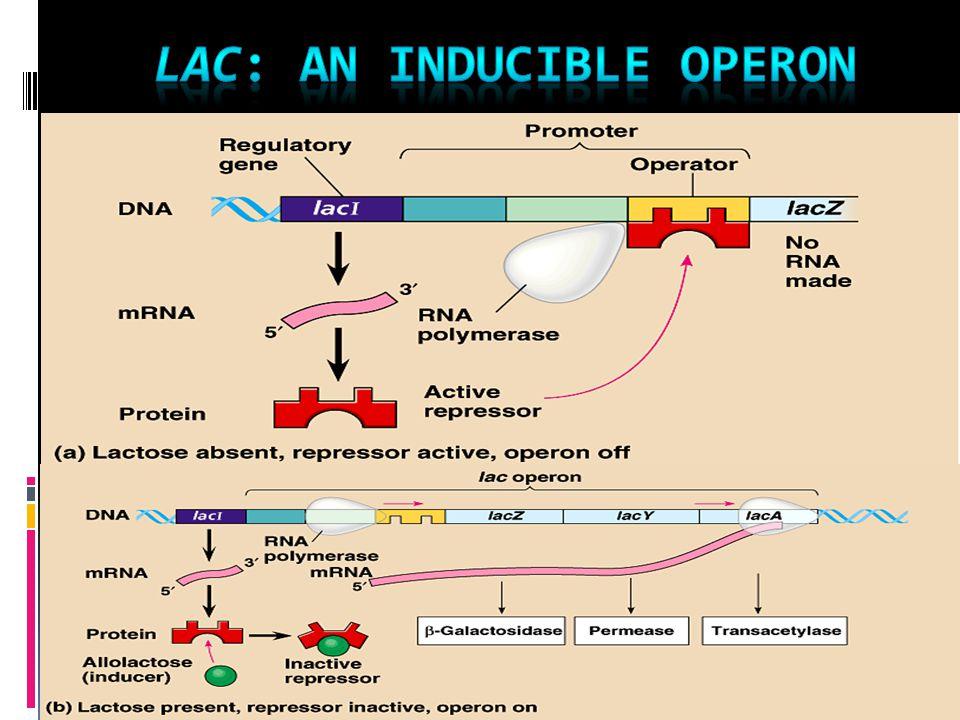lac: an inducible operon