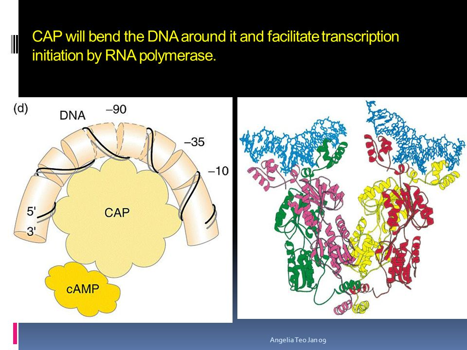 CAP will bend the DNA around it and facilitate transcription initiation by RNA polymerase.
