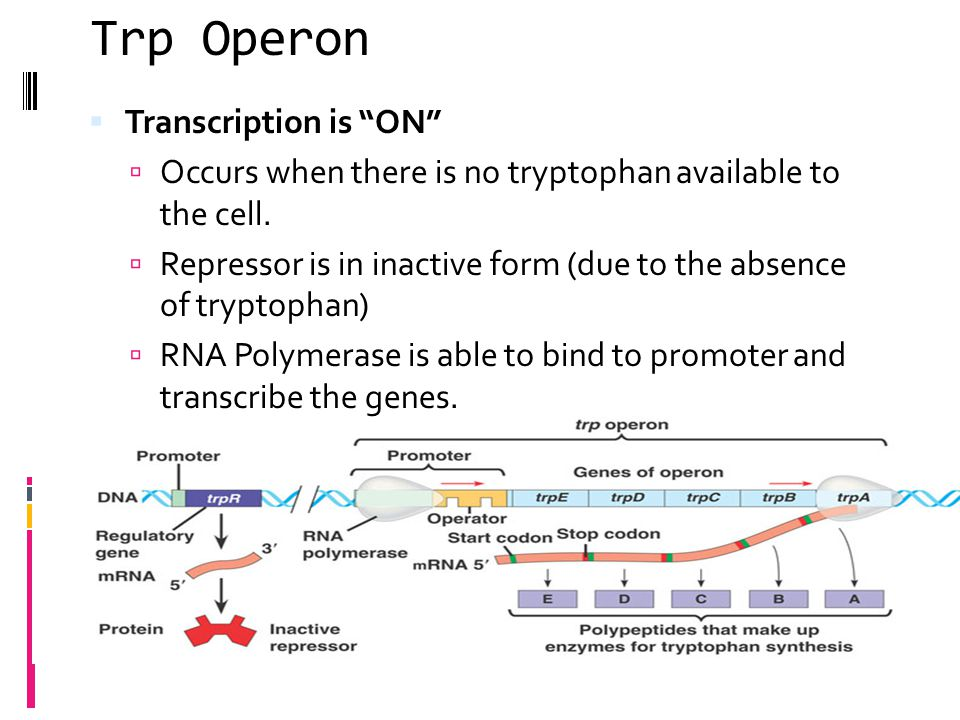 Trp Operon Transcription is ON