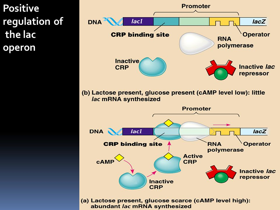 Positive regulation of the lac operon