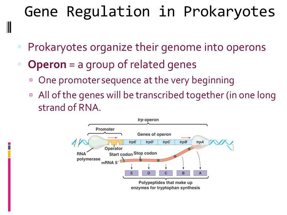 Gene Regulation in Prokaryotes