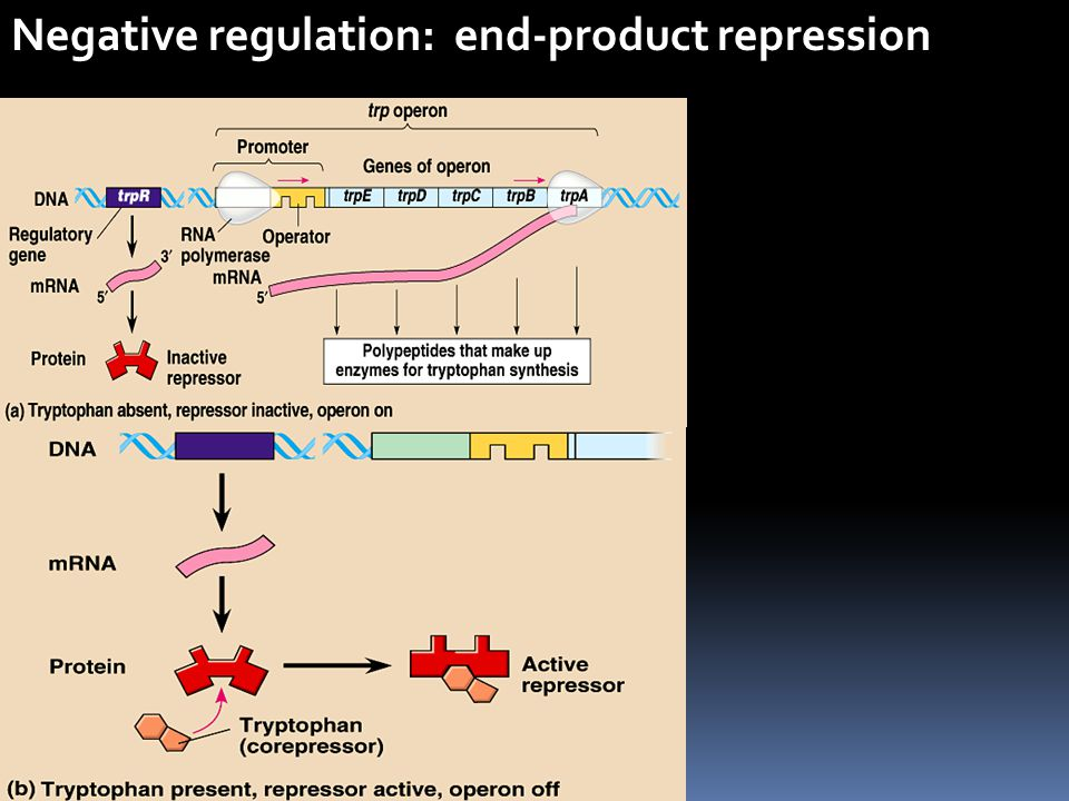 Negative regulation: end-product repression
