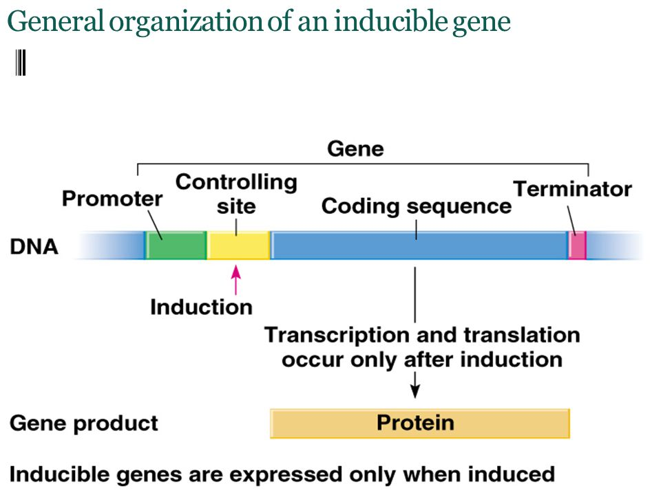 General organization of an inducible gene