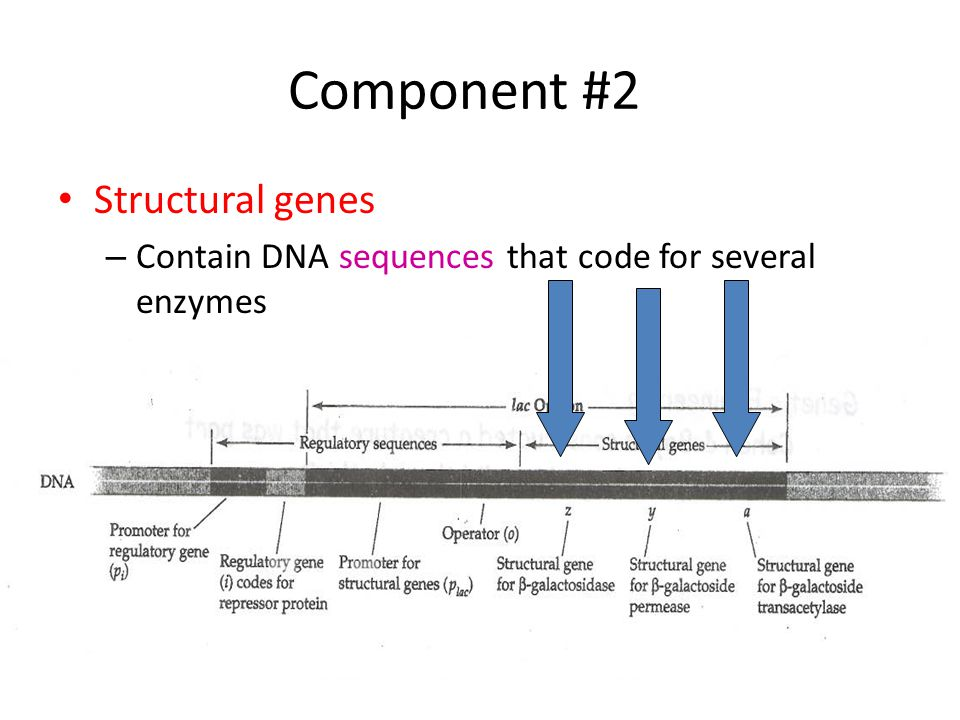 Component #2 Structural genes