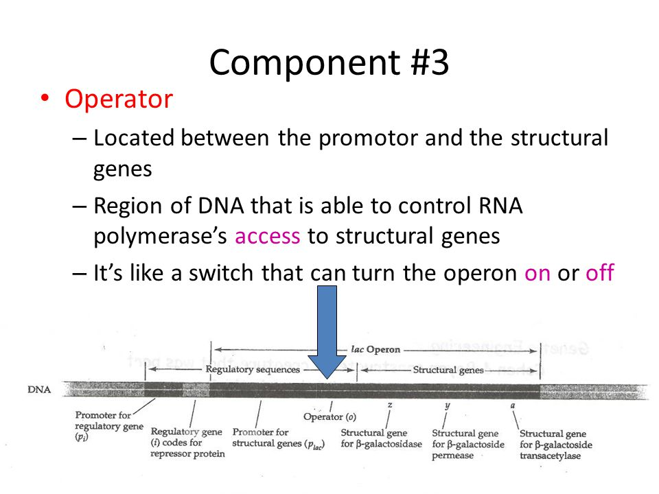 Component #3 Operator. Located between the promotor and the structural genes.