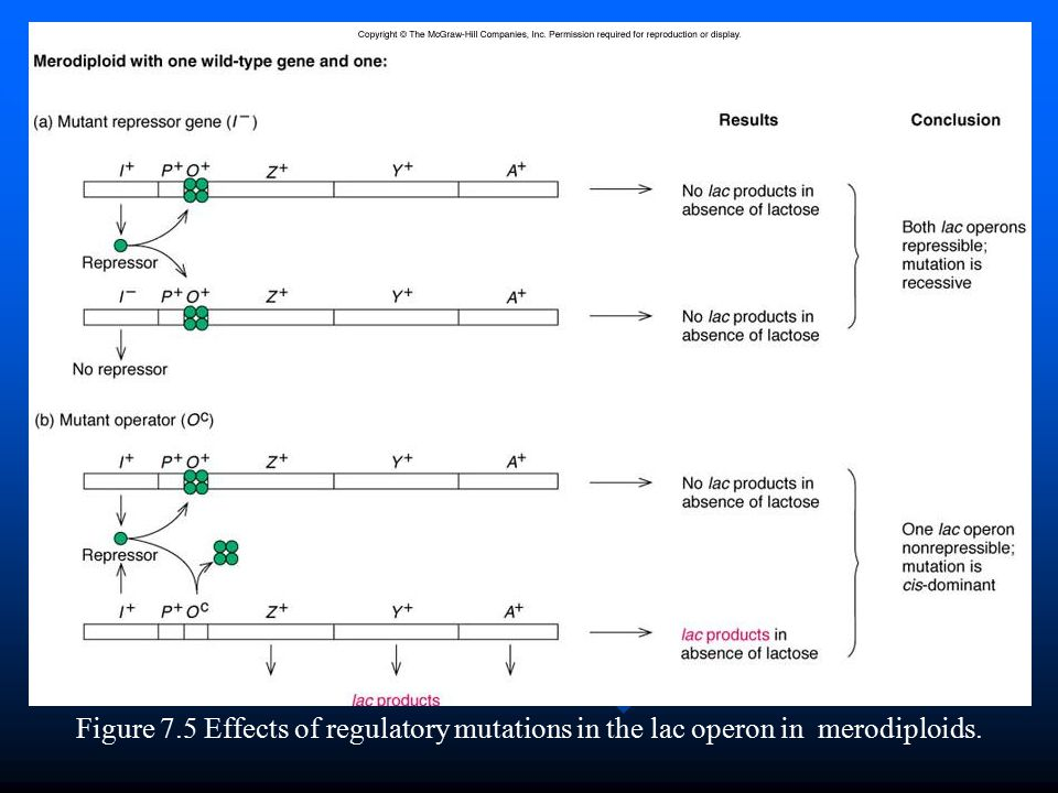 Figure 7.5 Effects of regulatory mutations in the lac operon in merodiploids.