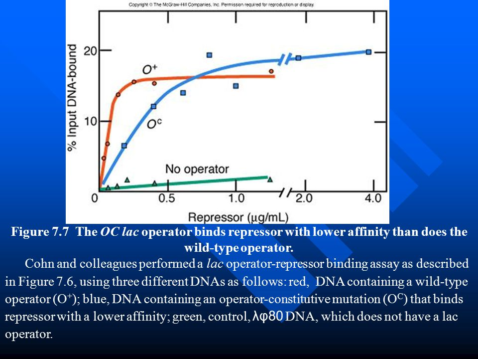 Figure 7.7 The OC lac operator binds repressor with lower affinity than does the wild-type operator.