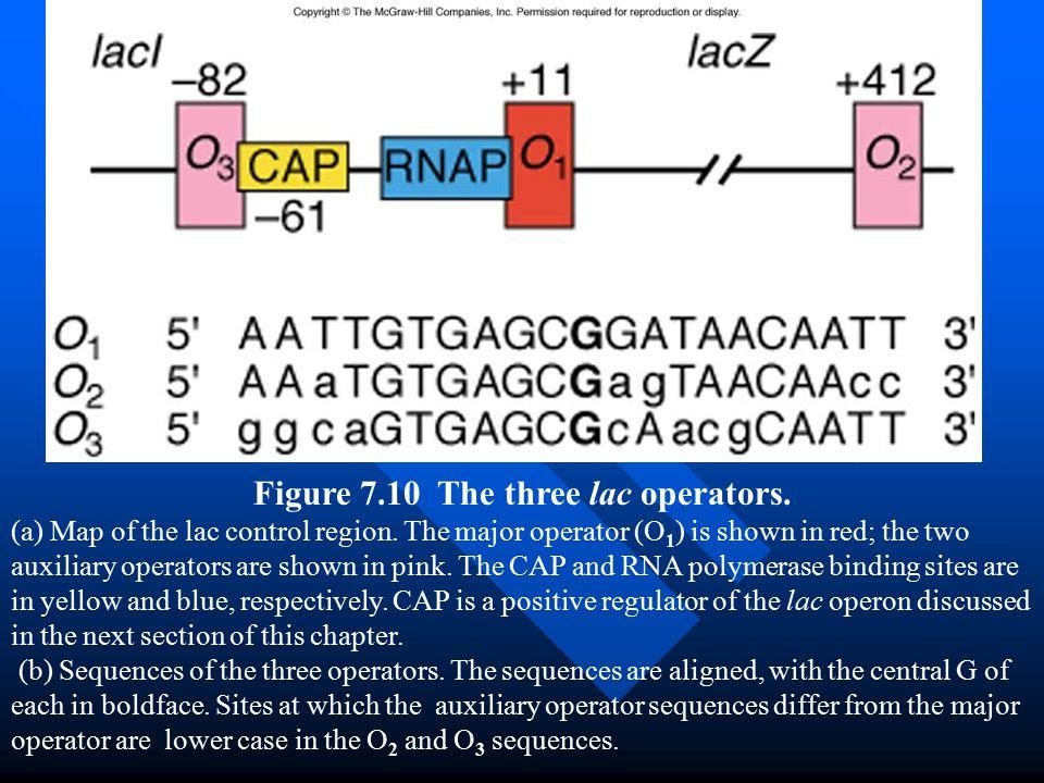Figure 7.10 The three lac operators.