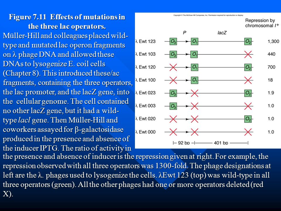 Figure 7.11 Effects of mutations in the three lac operators.