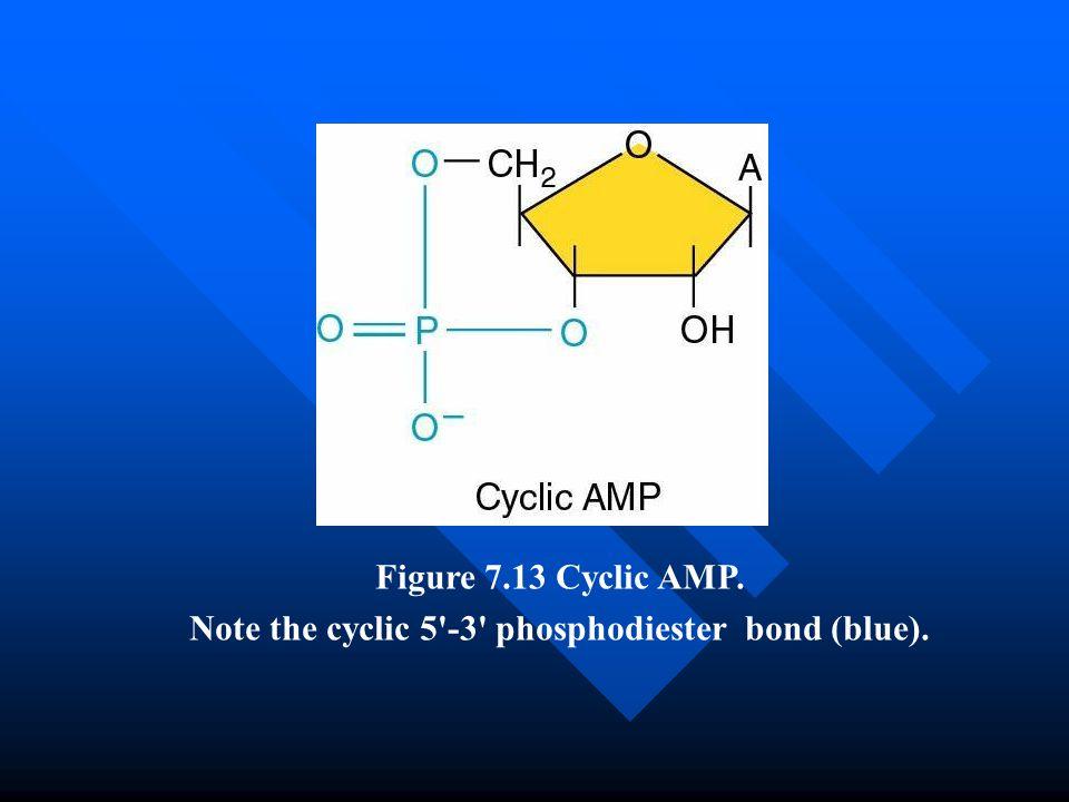 Note the cyclic 5 -3 phosphodiester bond (blue).