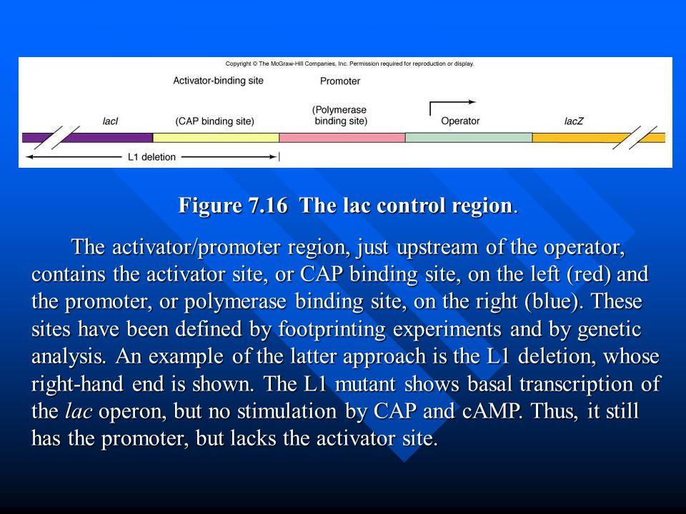 Figure 7.16 The lac control region.