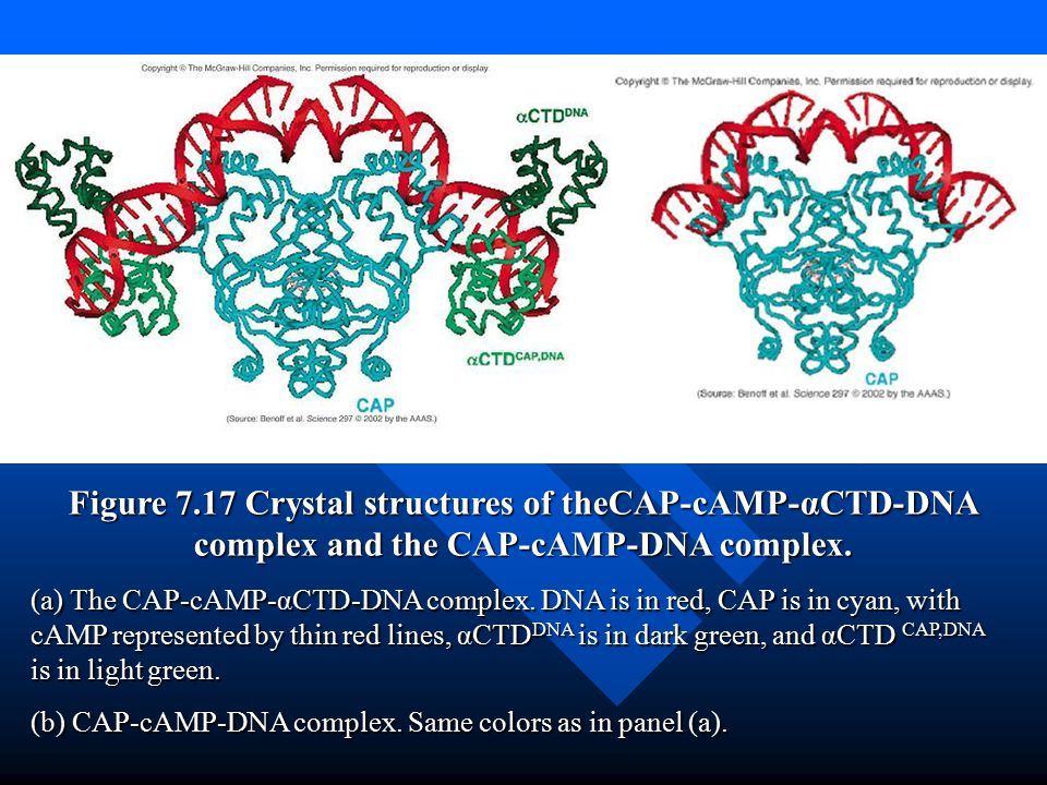 Figure 7.17 Crystal structures of theCAP-cAMP-αCTD-DNA complex and the CAP-cAMP-DNA complex.