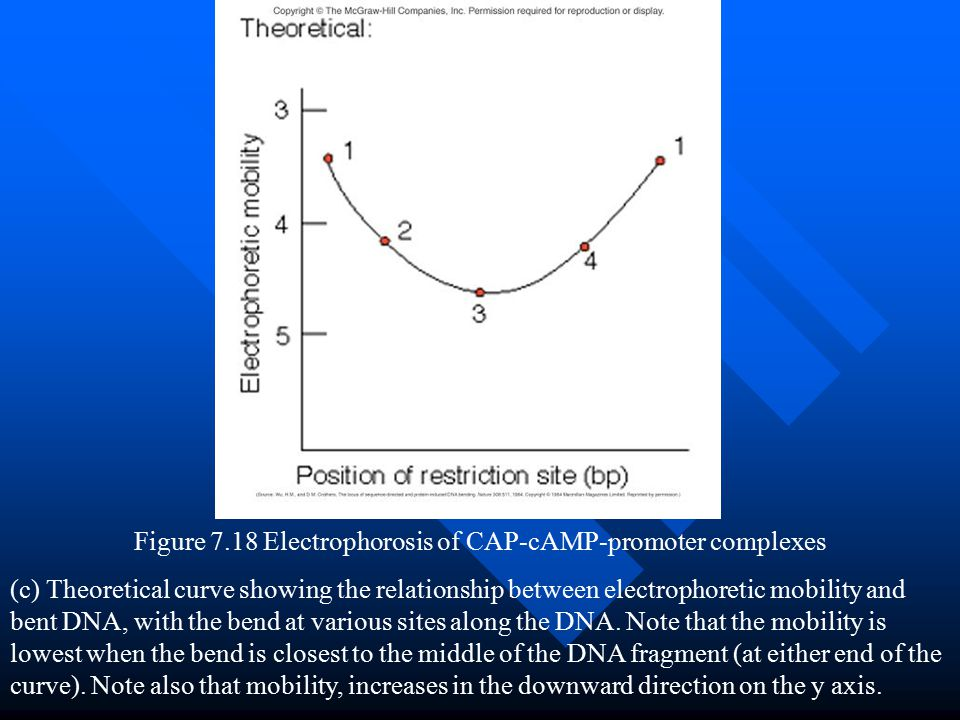 Figure 7.18 Electrophorosis of CAP-cAMP-promoter complexes