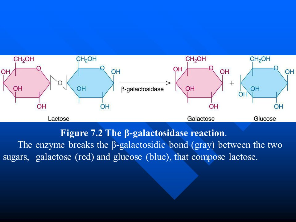 Figure 7.2 The β-galactosidase reaction.