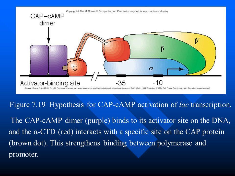 Figure 7.19 Hypothesis for CAP-cAMP activation of lac transcription.