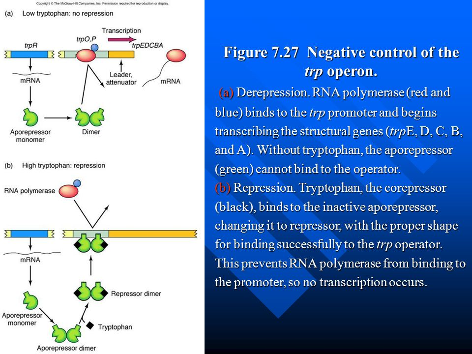 Figure 7.27 Negative control of the trp operon.