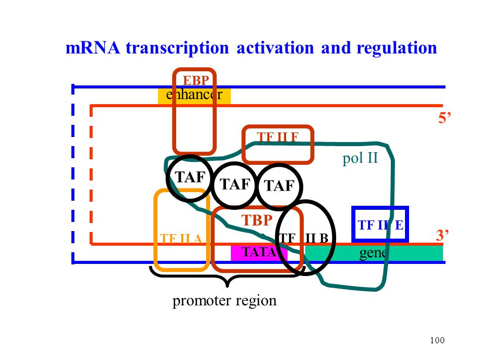 mRNA transcription activation and regulation