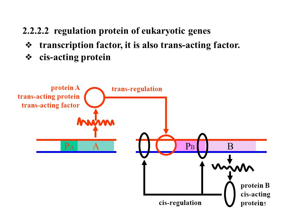 2.2.2.2 regulation protein of eukaryotic genes