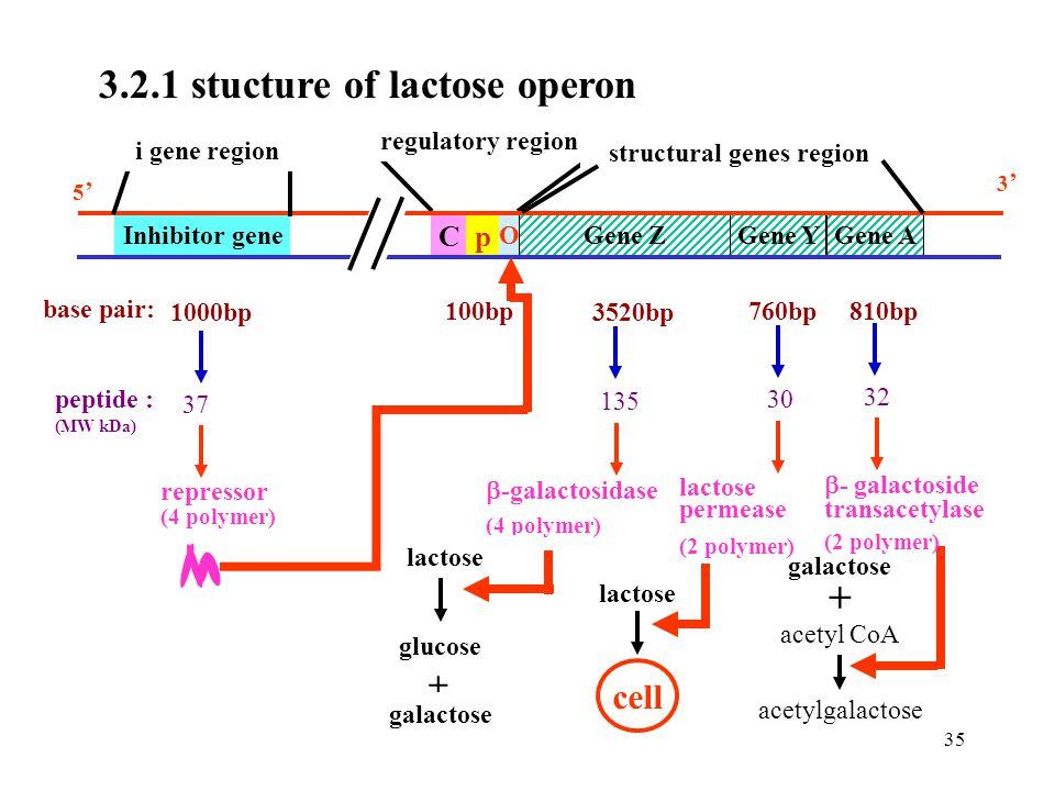 structural genes region