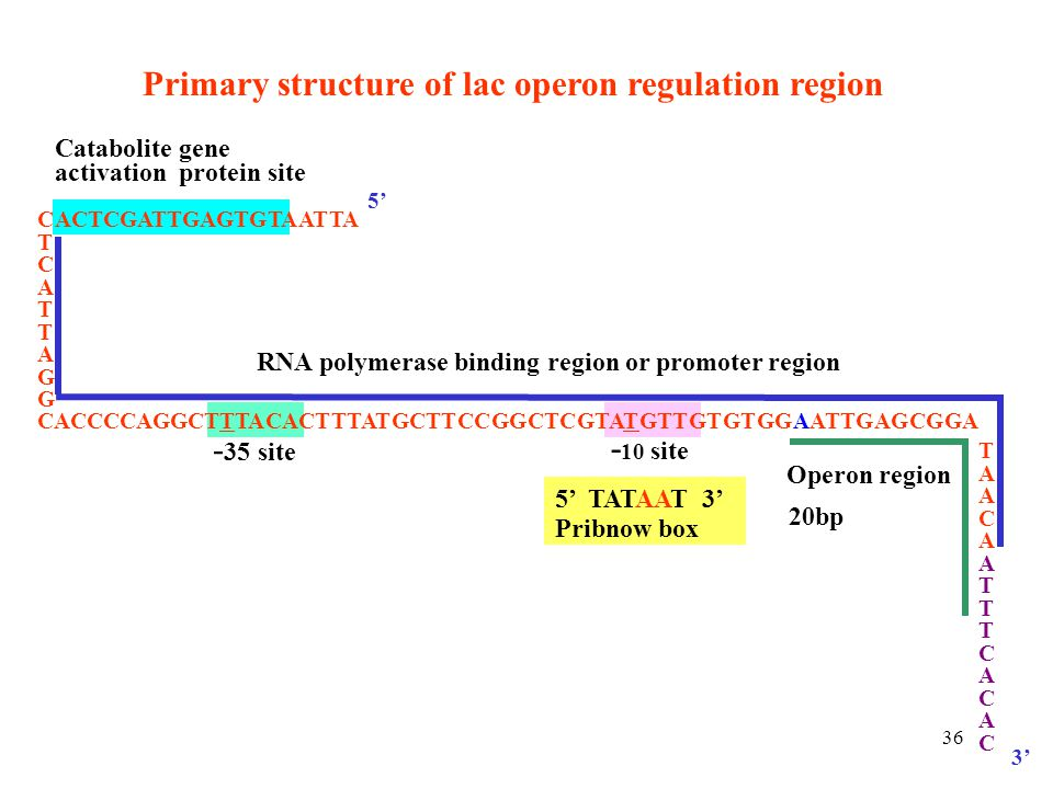 Primary structure of lac operon regulation region