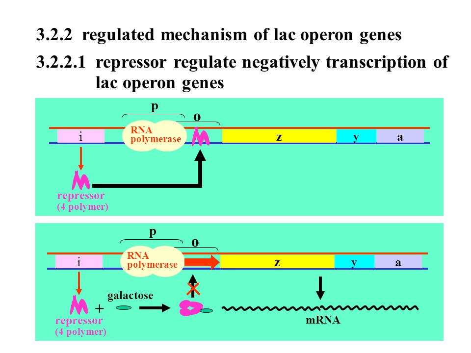 3.2.2 regulated mechanism of lac operon genes
