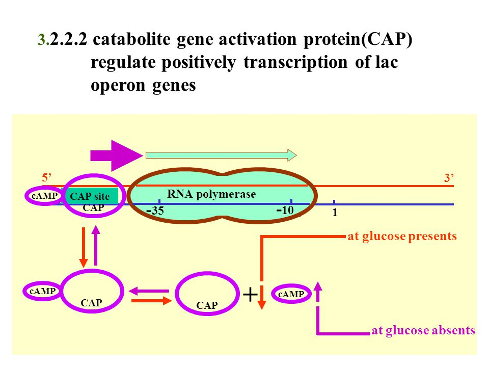 + regulate positively transcription of lac operon genes