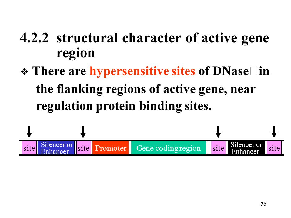 4.2.2 structural character of active gene region