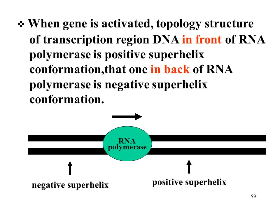 of transcription region DNA in front of RNA
