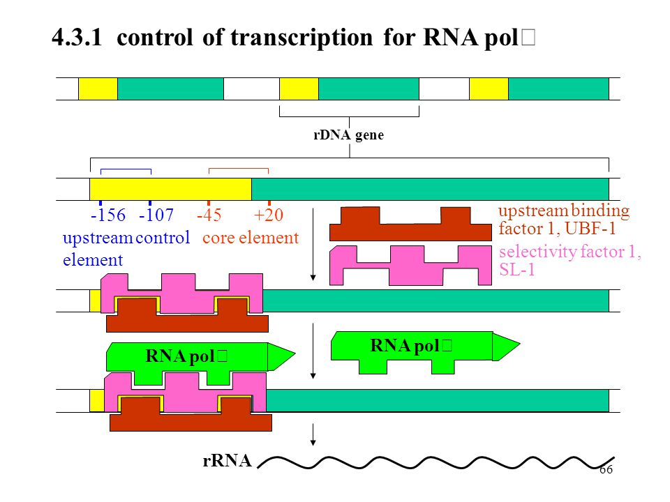 4.3.1 control of transcription for RNA polⅠ