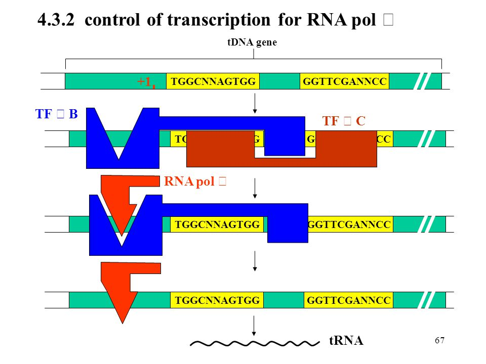 4.3.2 control of transcription for RNA pol Ⅲ