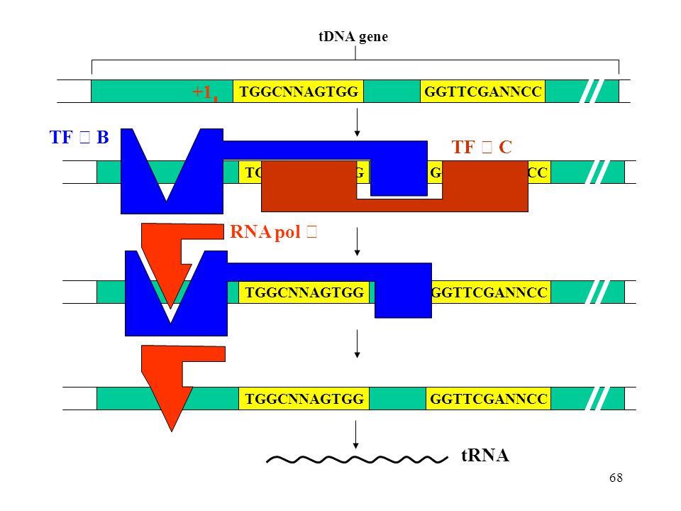 +1 TF Ⅲ B TF Ⅲ C RNA pol Ⅲ tRNA TGGCNNAGTGG tDNA gene GGTTCGANNCC