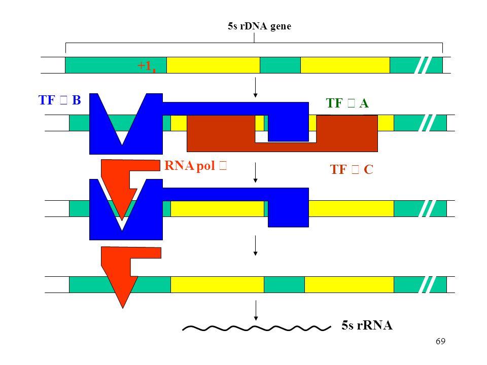 +1 5s rDNA gene TF Ⅲ A TF Ⅲ B TF Ⅲ C RNA pol Ⅲ 5s rRNA