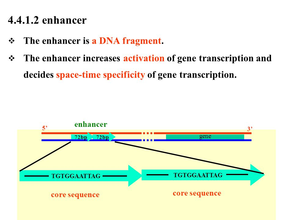 4.4.1.2 enhancer The enhancer is a DNA fragment.