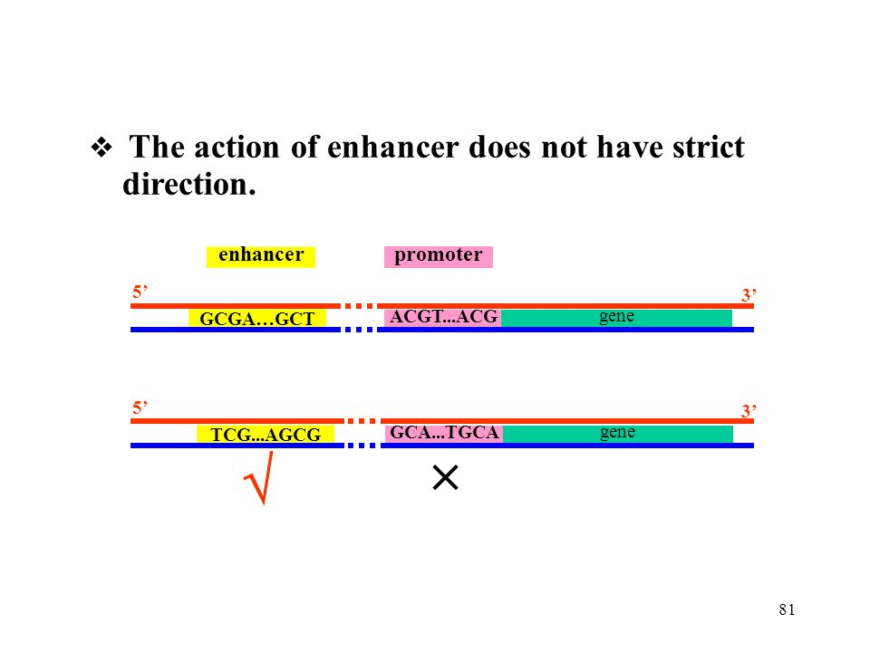   direction.  The action of enhancer does not have strict promoter
