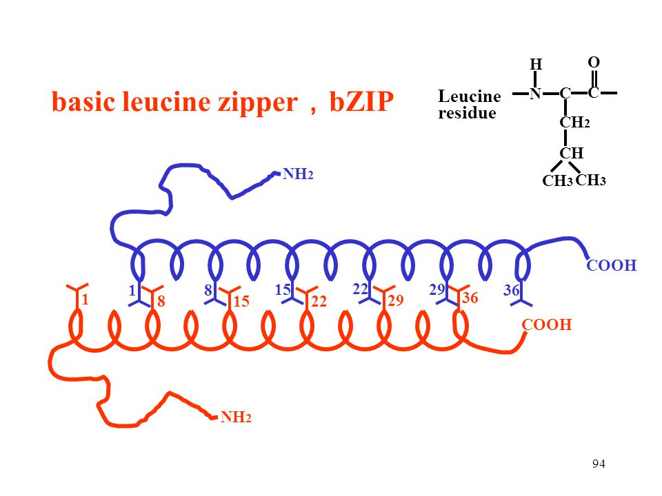 basic leucine zipper,bZIP