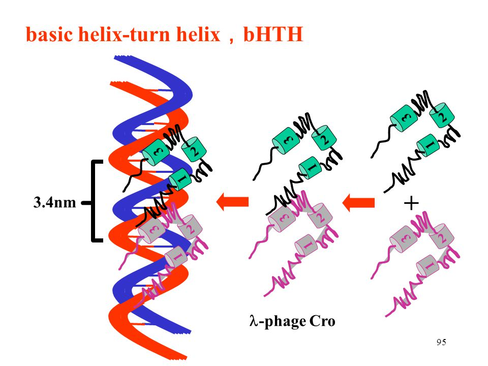 basic helix-turn helix,bHTH