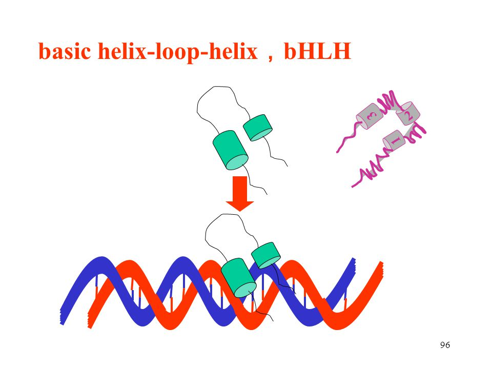 basic helix-loop-helix,bHLH