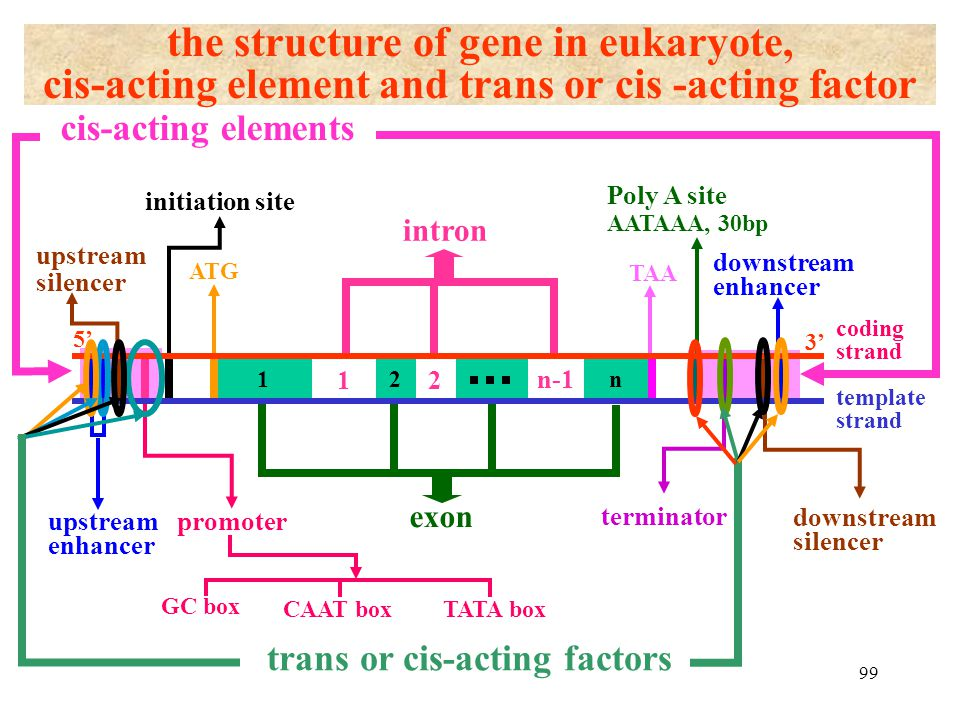 the structure of gene in eukaryote,