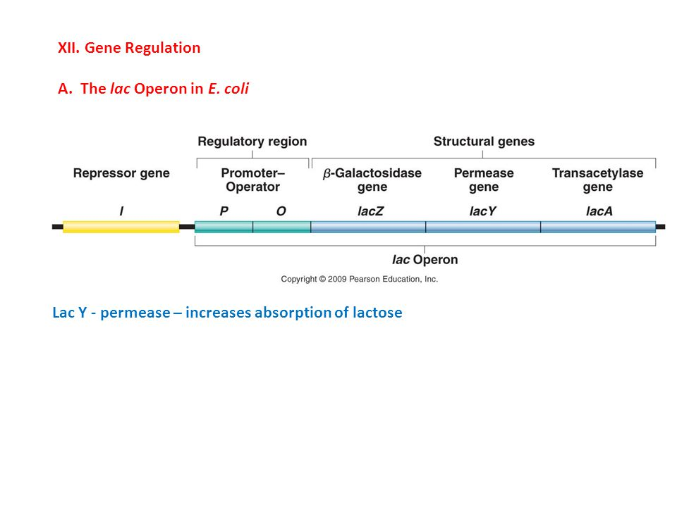 XII. Gene Regulation A. The lac Operon in E. coli.