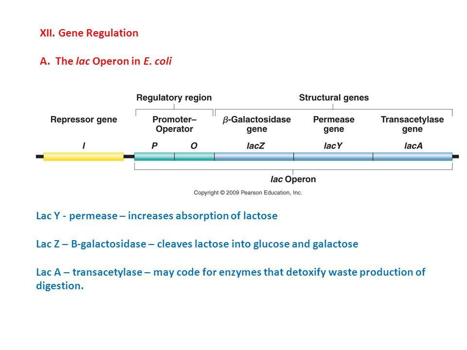 XII. Gene Regulation A. The lac Operon in E. coli. Lac Y - permease – increases absorption of lactose.