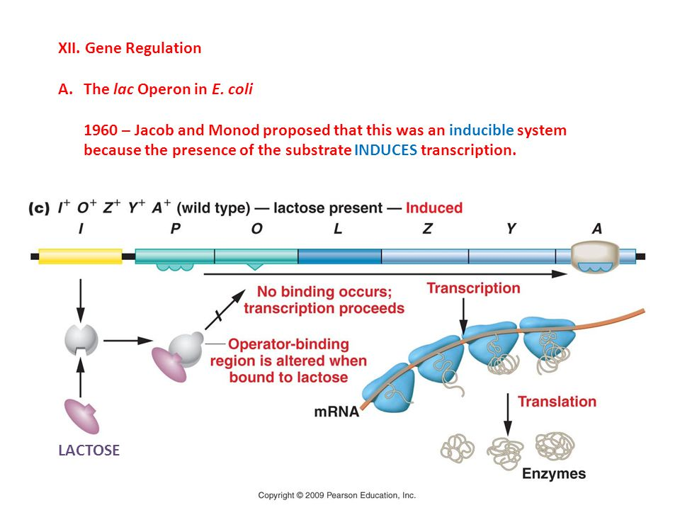 XII. Gene Regulation The lac Operon in E. coli.