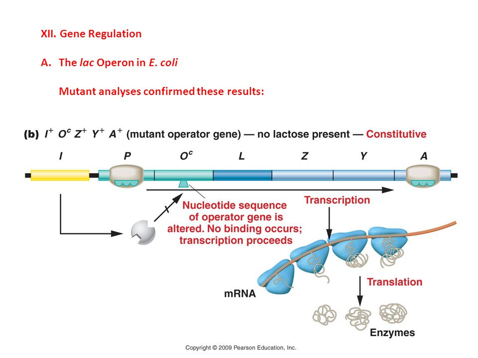 XII. Gene Regulation The lac Operon in E. coli Mutant analyses confirmed these results: